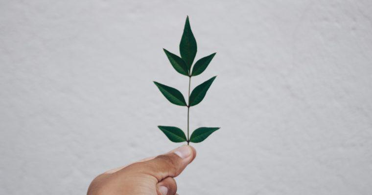 Liść laurowy i jego zdrowotny wpływ na czlowieka